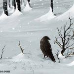 Cuervo en el bosque nevado